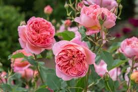Silver Shadow  The Fragrant Rose Company  Flowers  Pinterest Fragrant Rose Plants