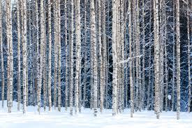 snowy birch forest wallpaper mural