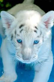 baby white lion with blue eyes. Blue Eyed White Tiger For Baby Lion With Eyes