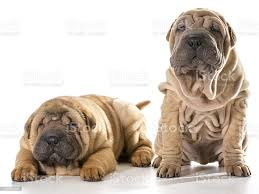 Two Chinese Shar Pei Puppies Stock ...