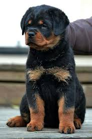 baby rottweiler. Simple Rottweiler Beautiful Baby  To Baby Rottweiler