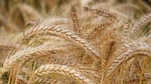 image of barley के लिए इमेज परिणाम