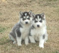husky puppies for sale. Delighful Puppies Siberian Husky Puppies For Sale With For Sale R