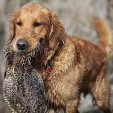 best pet retrieving wildfowl at the
