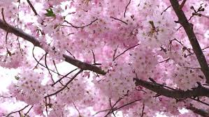 Moving Pink Blooming Sakura Cherry Stock Footage Video 100 Royalty Free 1020727561 Shutterstock