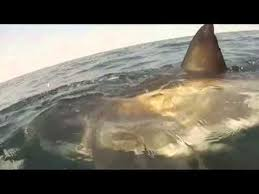 great white shark attacks boat. Fine Shark Great White Shark Attacks Boat Off The Coast Of Ocean City MD And