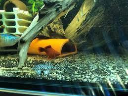 Đèn LED AquaNice 55cm, 85cm, 115cm, 145cm màu trắng - màu vàng tanning cho  cá Kim Long Quá Bối