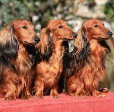 Pin by Sharlene Knox on Doxies are the Best!   Dachshund puppies, Dachshund  puppy miniature, Dachshund mom