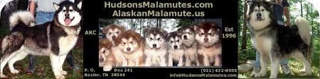 Hudsonsmalamutes Com Alaskanmalamute Us Akc Ofa Gentle
