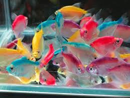 Small Picture yellow and orange tetra White skirt tetra mix color Tetras a