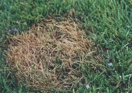 Brown Patch Disease Picture Perfect Lawn Care Brown Patch