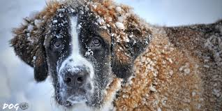 Dog in Winter HD Wallpaper - Gnome-look.org