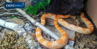 Feeding Corn Snakes Exoticdirect