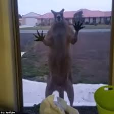 footage has emerged of the moment a buff kangaroo scaring a resident as it attempted to