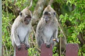 China reports its first death of a human from rare Monkey B virus: What is  it? What are its symptoms?