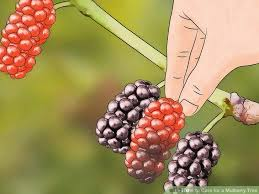 Big Ten Seedless Mulberry Trees No Big Earners 10 Guomiao Selling Mulberry Tree No Fruit