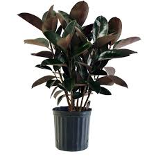 cheap office plants. Costa Farms Burgundy Rubber Plant In 8.75 In. Pot-10BURG - The Home Depot Cheap Office Plants