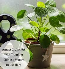chinese money houseplant get your own