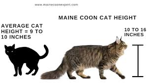 The Maine Coon Size Compared To A Normal Cat Maine Coon Expert