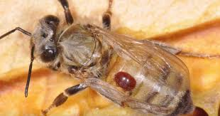 beekeeping detecting mites in beehive with recap mason jars diy kit how to