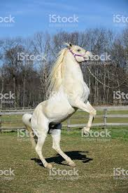 white horse rearing. Exellent Horse White Horse Rearing Up Arabian Stallion In Motion Royaltyfree Stock Photo Throughout