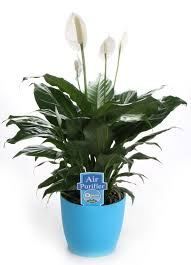 7 Indoor Plants That Purify The Air Around You Naturally Decorative Plants For Home