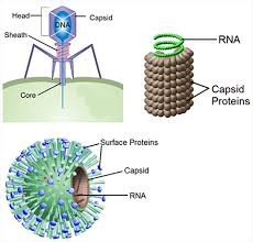 Bacteria And Viruses Venn Diagram Virus Structure Texas Gateway
