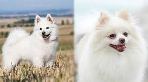 Pomeranian Weight Chart German Spitz Vs Pomeranian Breed Differences Similarities