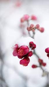 Snow Flower, flower, snow, winter, red ...