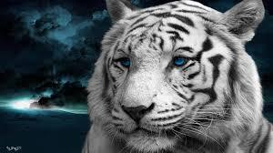 black tiger with blue eyes wallpaper. Plain Tiger Black And White Tiger With Blue Eyes Wallpaper  Photo19 On Tiger With Blue Eyes Wallpaper