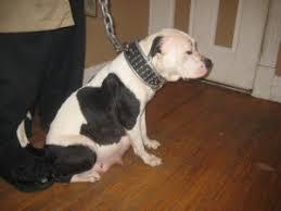 american bulldog red nose pitbull mix. Perfect Nose AmericanBullyPitbullMixAmericanBulldog300x225jpg Inside American Bulldog Red Nose Pitbull Mix 6