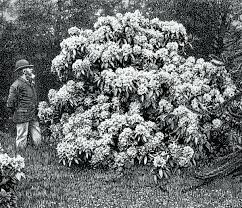 rhododendrons in an english garden from william robinson the english flower garden 7th edition london 1899