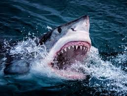 great white sharks eating people alive. Simple White Aattack The Shark Is Believed To Have Been A Great White With Great White Sharks Eating People Alive N