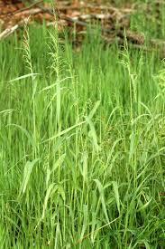 Milium (plant) - Wikipedia