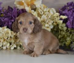 dachshunds puppies down home