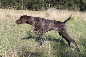 pointer dog brown with white hunt in field