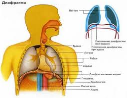 Реферат Заболевания дыхательной системы и их предупреждение  Рисунок 3 Диафрагма человека