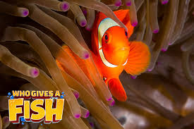 Maroon Clownfish Who Gives A Fish