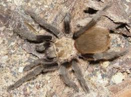 Oklahoma Brown Tarantula Aphonopelma Hentzi Also Called
