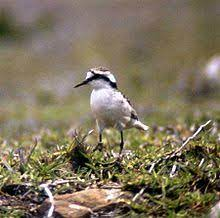 List of birds of Saint Helena - Wikipedia