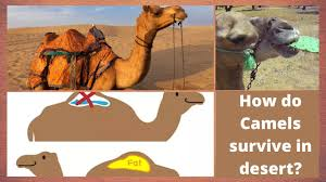 How do Camels survive in desert | Where do Camels store their water |  Online Learning for Kids - YouTube