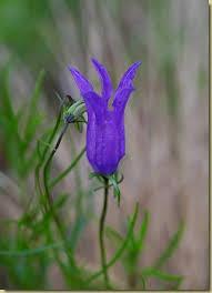 Flora - Campanula incisa - in Valgrande