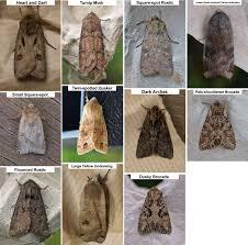 Moth Identification Chart Scottish Pollinators