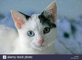 black and white kitten with blue eyes. Beautiful With Black And White Kitten With One Blue Green Eye  Stock Image In And White Kitten With Blue Eyes T