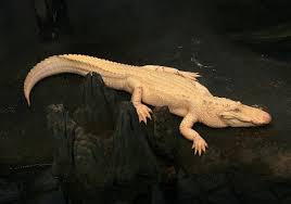 Albinism - Wikipedia