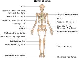 finger joint names. the human skeleton finger joint names