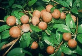 WwwthehoneytreenurserycomHybrid Fruit Trees For Sale