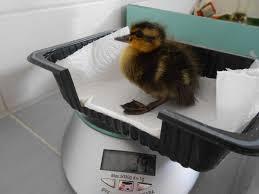 Duckling Weight Chart Week 1 Magical Mallards