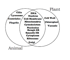 Organelles In Plant And Animal Cells Venn Diagram Plant And Animal Cell Diagram Venn Printable Diagram
