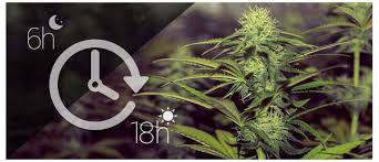 How Much Light For Autoflowering Cannabis Plants